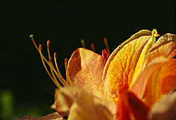 Flower and anthers of an azalea
