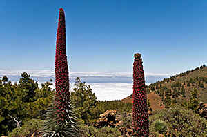 Tenerife - Echium wildpretii - a wonderful wildflower with 3 metres high florescens with thousands of red flowers.
